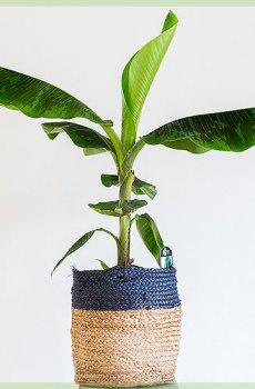 Musa cavendish bananenplant