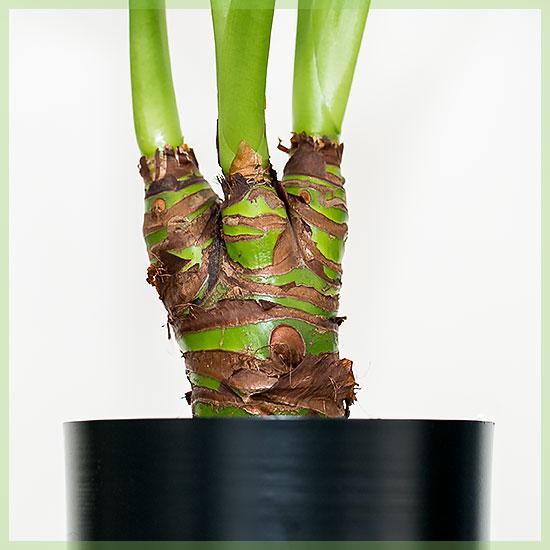 Alocasia cucullata pot 12cm sterke kamerplant