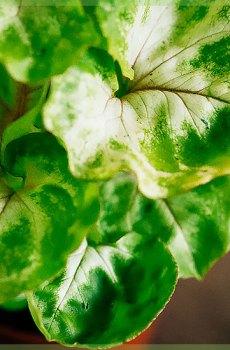 Syngonium pixie verzorging tips