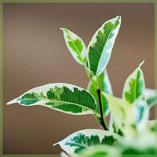 Ficus Benjamina Starlight