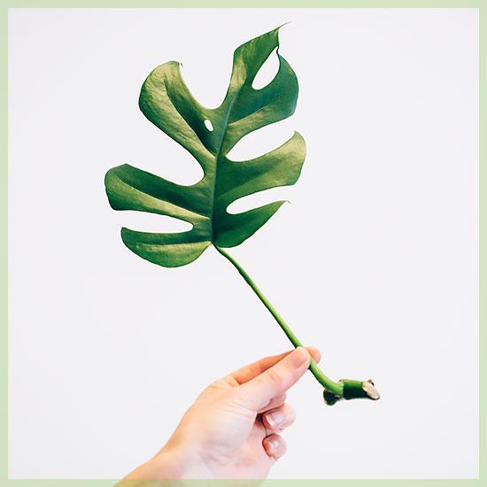 Philodendron Rhapidophora tetrasperma monstera minima stekje