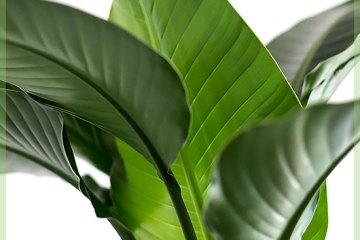 Strelitizia nicolai tropische kamerplant