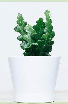 Zaagcactus - epiphyllum anguliger