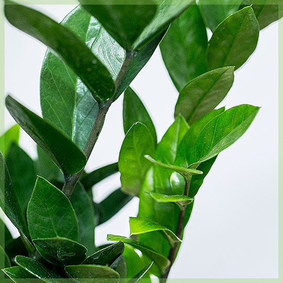 zamioculcas zammifolia verzorging tips