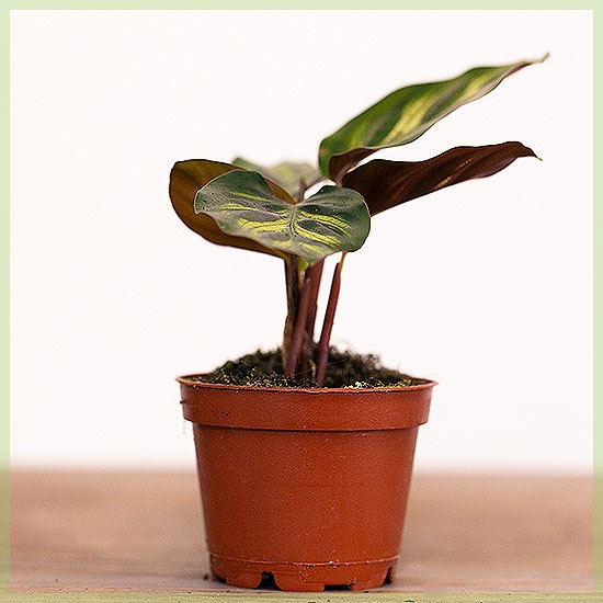 Calathea gemengd pot 9cm