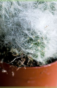 Mini cactus in kwekerpot