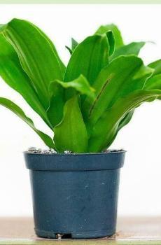 dracaena compacta in kwekerpot