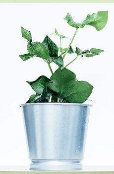 Fatshedera lizei kruising hedera en fatsia japonica