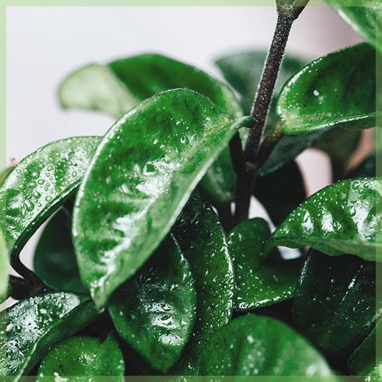 Hoya krinkle krul carnosa compacta
