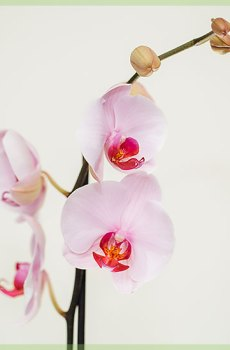 Phalaenopsis pinky red