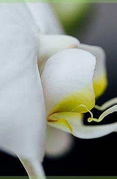 Phalaenopsis orchideeën white diva pot 12cm