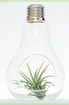 Airplant tillandsia ionantha fuego groen sierglaslamp