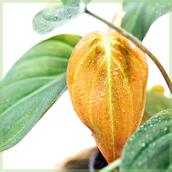 Philodendron Scandens Micans kopen