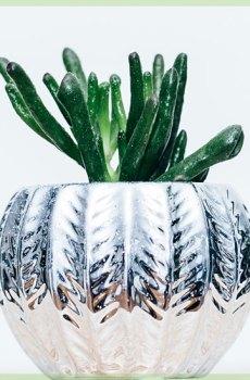 Crassula horntree toeter vetplant succulent