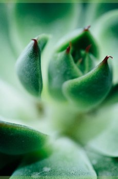 Echeveria miranda vetplantje succulenten