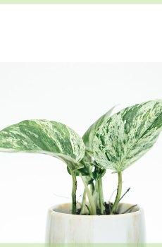 epipremnum pinnatum marble queen mini