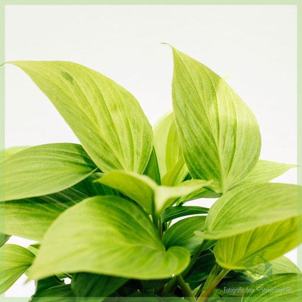 Homalomena Lemon Lime kopen en verzorgen