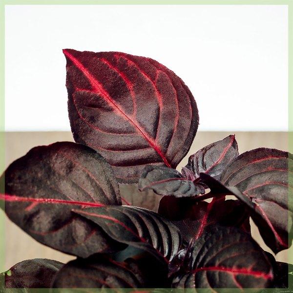 Iresine herbstii bloodleaf biefstukplant