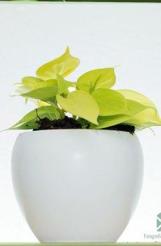 Philodendron Hederaceum 'Lemon Lime' kopen en verzorgen