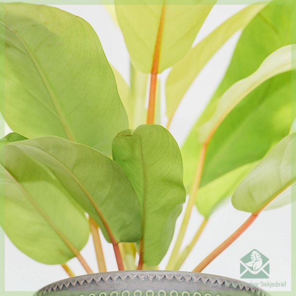 Philodendron malay gold kopen verzorgen