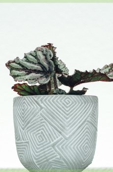 Bladbegonia Rex Chayo kopen en verzorgen