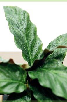 calathea rufibarba mini 6 cm kopen