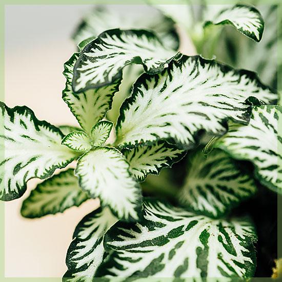 Mozaïekplant fittonia white tiger