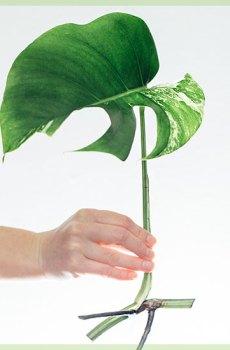 monstera albo borsigiana variegata