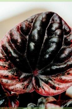 peperomia caperata luna red bladeren mini