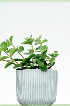 Peperomia rotundifolia mini kopen