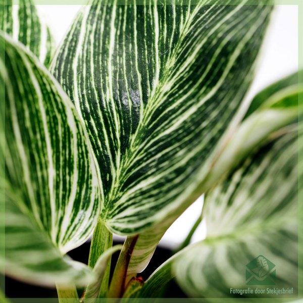 Philodendron Birkin Variegata kopen en verzorgen