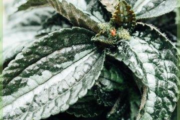 Pilea Ellen zilver grijs mini plant
