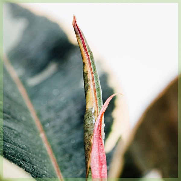 rubberplant rubberboom ficus el tineke