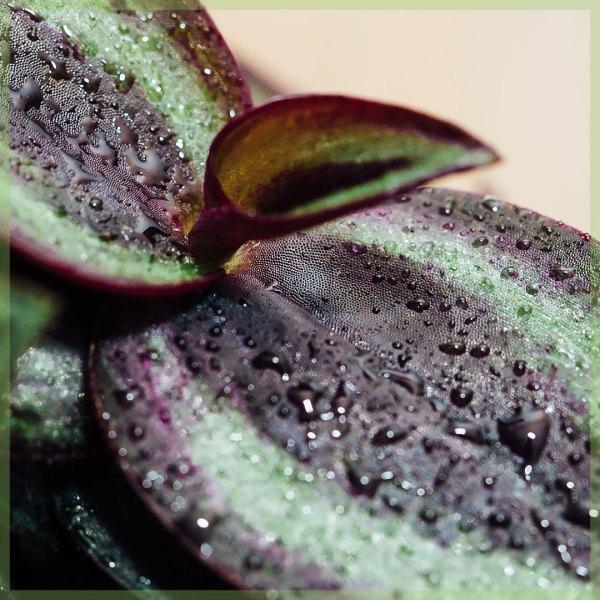 tradescantia purple passion mini plant kopen