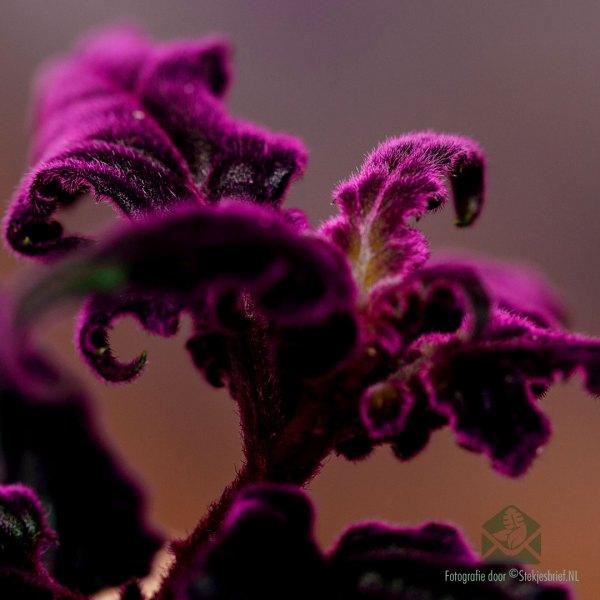 Gynura Auranti - Fluweelplant kopen