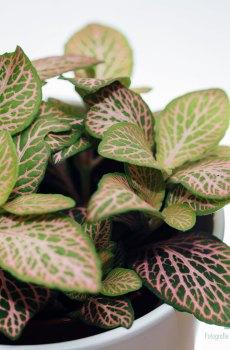 Fittonia verschaffeltii Mozaïekplant groen roze bladeren kopen
