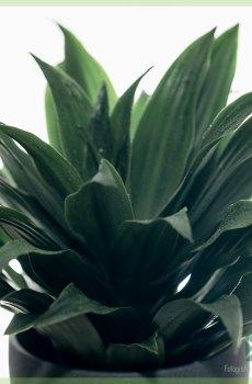 Dracaena Deremensis Janet Craig pot 12 cm