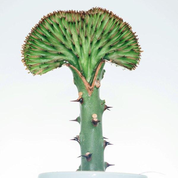 Euphorbia Lactea Groene kraag kopen en verzorgen
