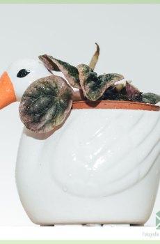 Peperomia Caperata Abricos kopen