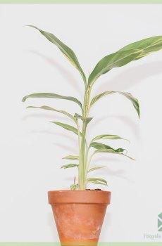 Alpinia Zerumbet Gember Variegata kopen en verzorgen