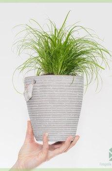 Kattengras Cyperus alternifolius Zumula online kopen