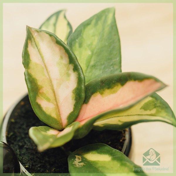 Hoya carnosa albomargina 3 colors babyplanjtes