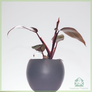 Philodendron Pink Princess - wachtlijst