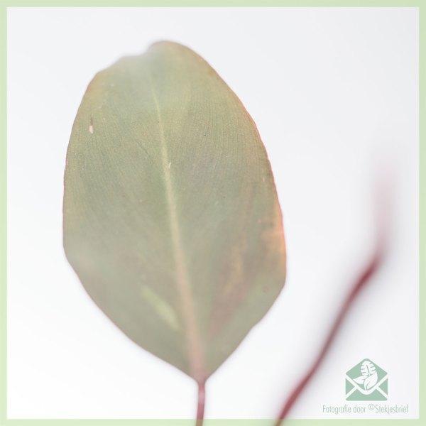 Philodendron Pink Princess kopen