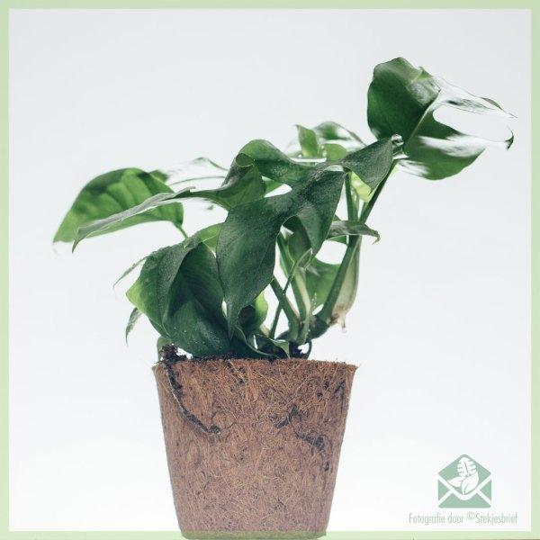Philodendron rhapidophora tetrasperma monstera minima in cocopot