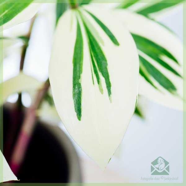 Costus Arabicus Variegata - Ginger Spiral kopen en verzorgen
