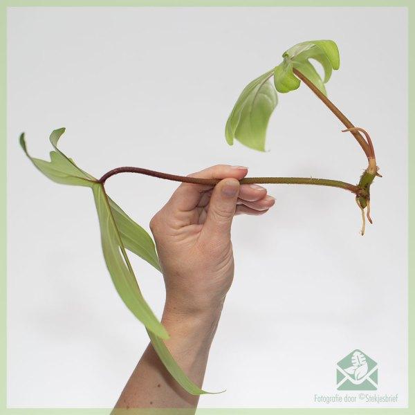 Philodendron Florida Ghost kopen en verzorgen