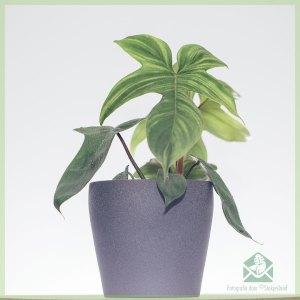 Philodendron Florida Green kopen en verzorgen
