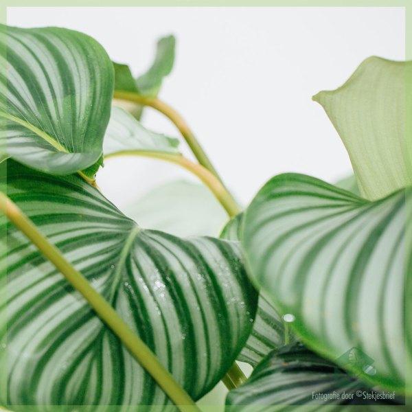 Calathea Orbifolia goeppertia kopen en verzorgen