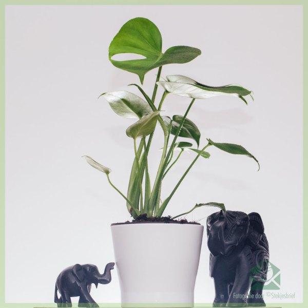 Philodendron Monstera Deliciosa Gatenplant kopen